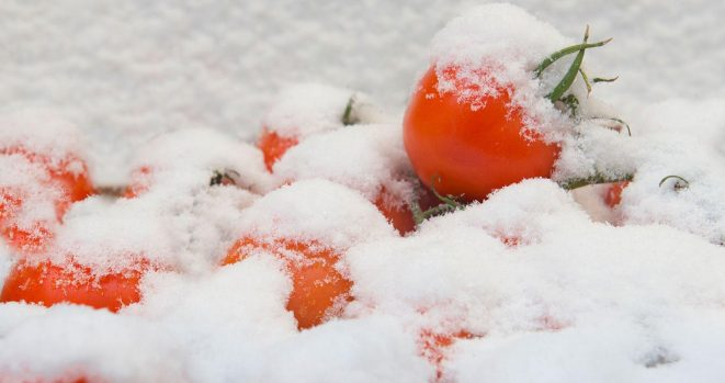 Frozen Tomatos